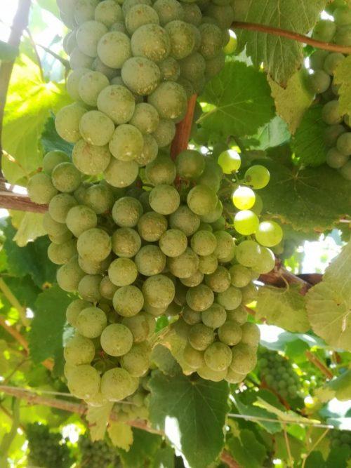 visita bodega en vendimias albariño Galicia uvas