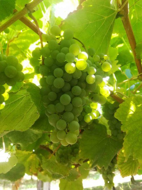 uvas albariño bodegas granbazan