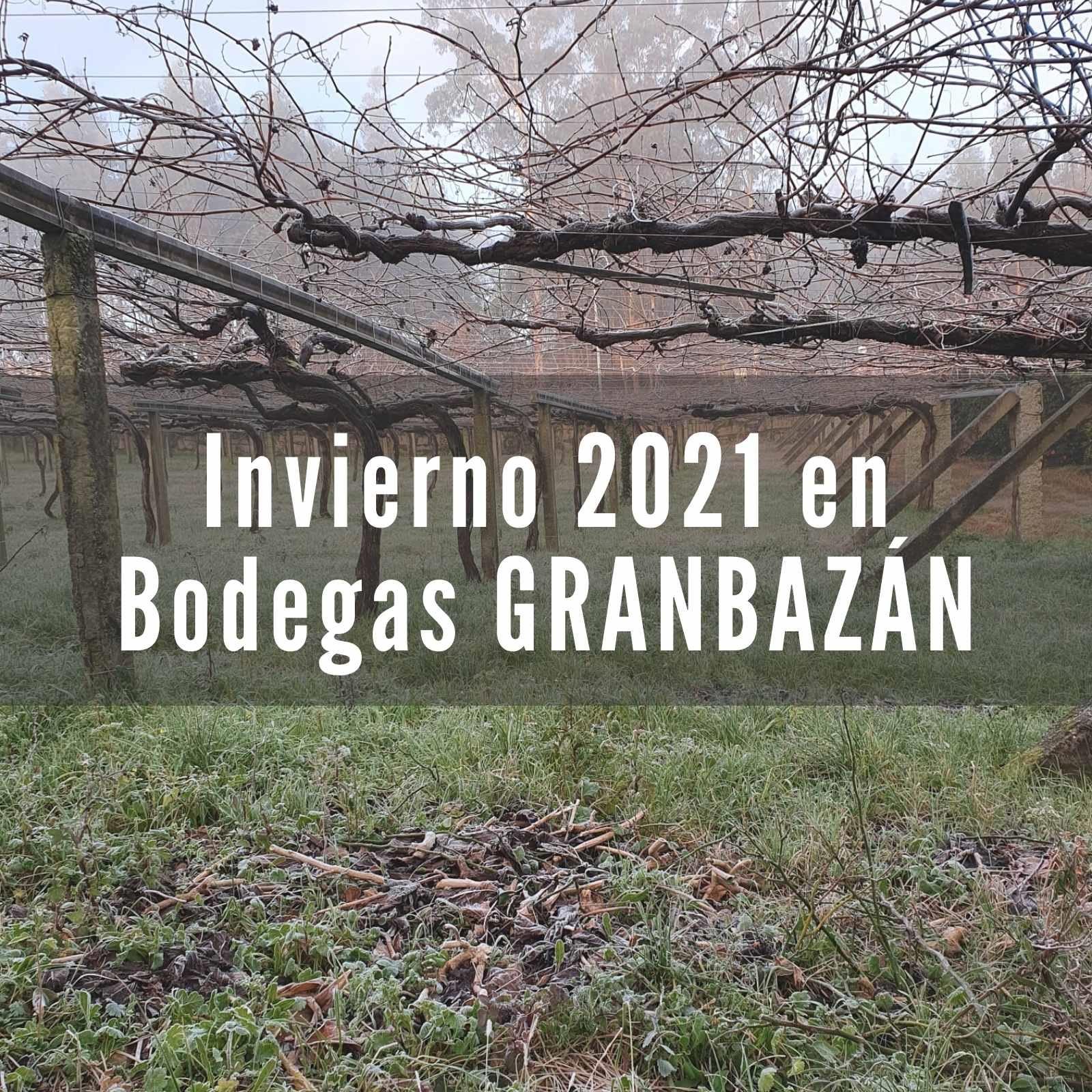 Estado del viñedo en Bodegas Granbazán